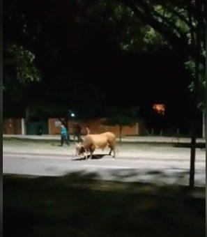 Es real. Un toro atacó a un hombre en la ciudad de Tarija